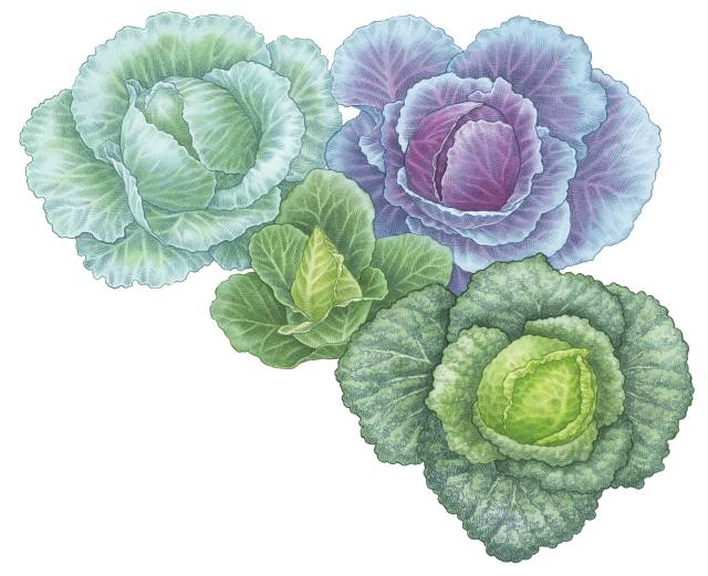 Colorful Cabbage Illustration